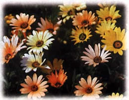 African Daisy Wild Flower Seed