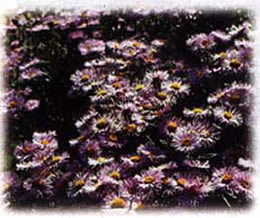Alpine Aster Wildflower Seed